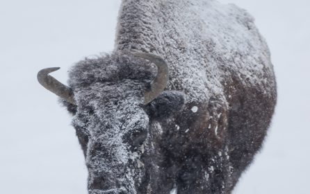 Genesee Park Bison Herd in Snow
