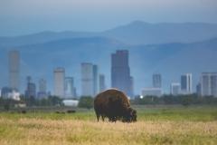 Bison and Denver